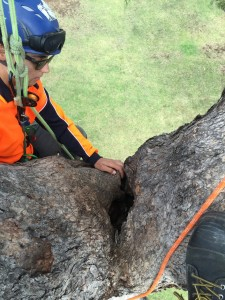 Arborist inspecting tree hollow