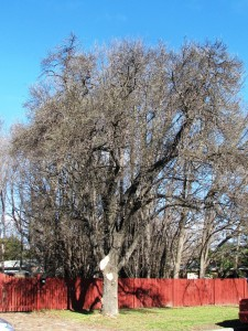 Lopped Street Tree